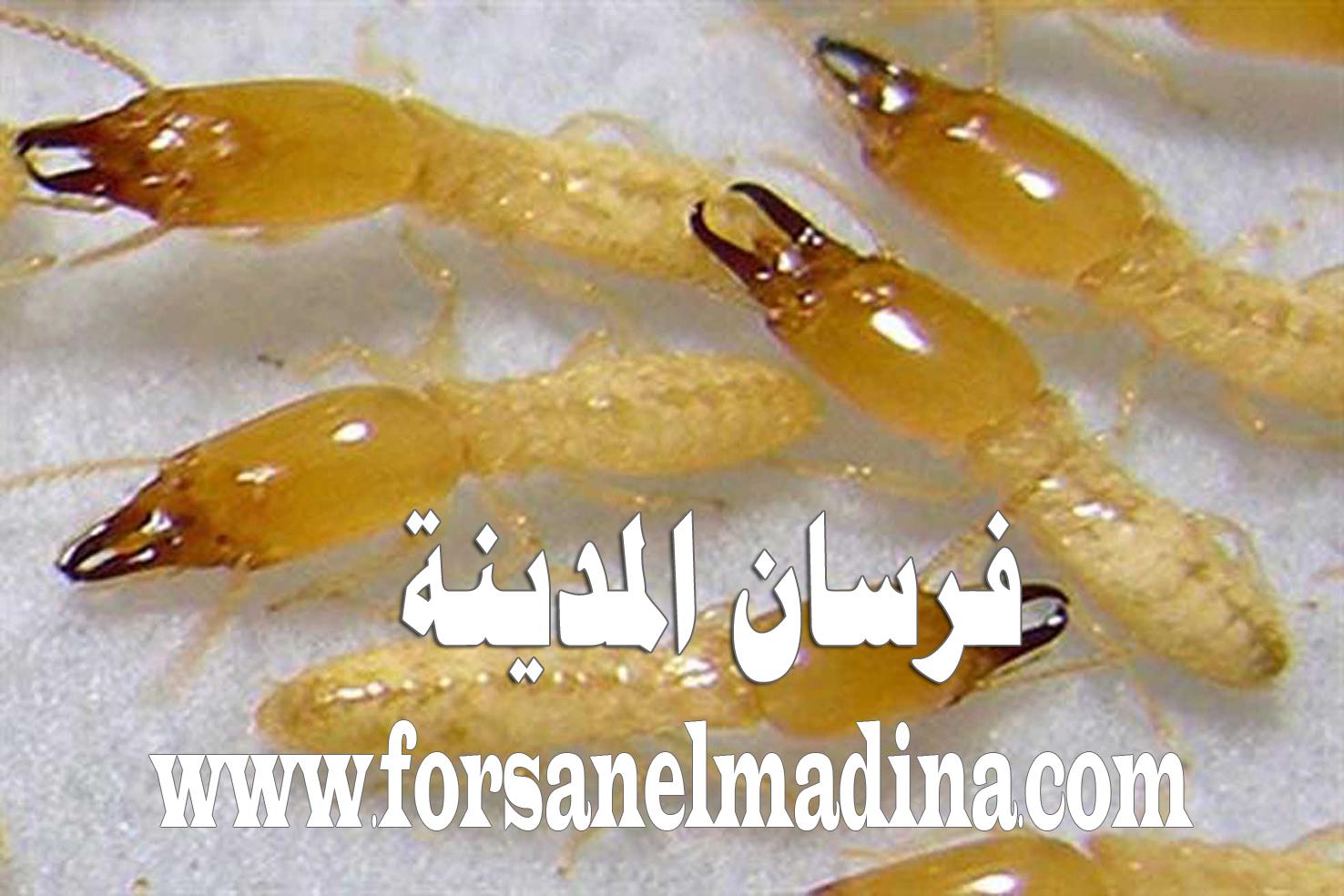 شركة مكافحة النمل الأبيض بالمدينة المنورة 0596970555